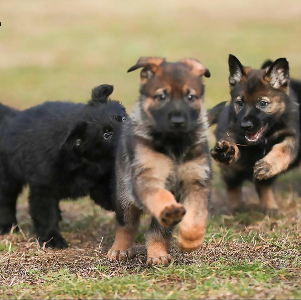 b7d5bcc8b8c ... of world class working German Shepherds from the finest bloodlines in  the world. Superb temperaments for loyal family companionship